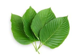 kratom leaves 2